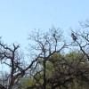 Great Blue Herons make nesting colony near the garden