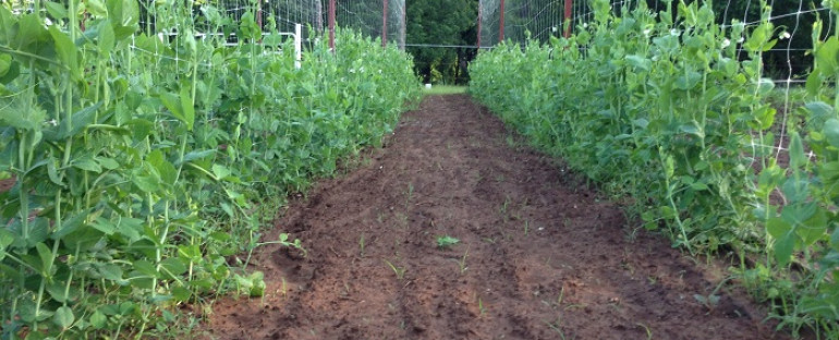 Peas and New Potatoes are nearly ready