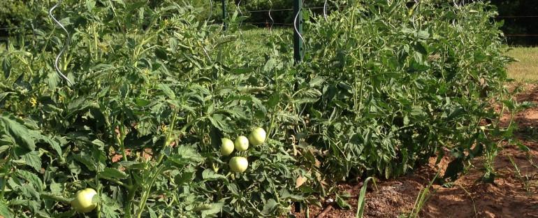 Tomato Grafting Failure