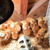 New Rhode Island Red chicks